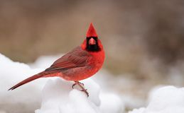 Cardinal in the Snow royalty free stock images