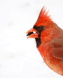 Cardinal in the Snow Royalty Free Stock Image