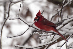 Cardinal in Snow. Royalty Free Stock Image