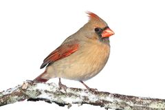 Cardinal In Snow on White Stock Images