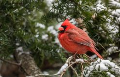 A Cardinal in the Snow in Winter. In PA Royalty Free Stock Photos