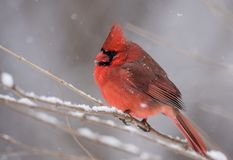 A Cardinal in the Snow in Winter. In PA Royalty Free Stock Image