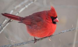 A Cardinal in the Snow in Winter. In PA Stock Photo