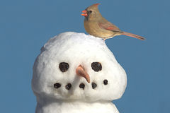 Cardinal On Snowman Royalty Free Stock Photography