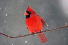 Cardinal in snowstorm royalty free stock photos