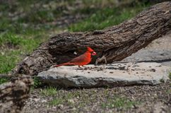 Cardinal at South Llano River state park. A cardinal eating seeds at South Llano River State Park in Texas royalty free stock photography