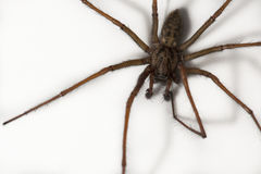 Cardinal spider Stock Images