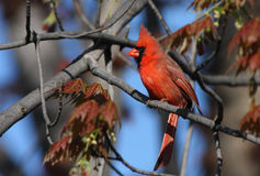 Cardinal in spring Stock Photo