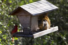 Cardinal and Squirrel Sharing Lunch. At a Bird Feeder at Choke Canyon State Park, Texas stock photo