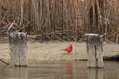 Cardinal Standing on the sand stock image