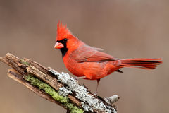 Cardinal On A Stump Royalty Free Stock Images