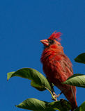 Cardinal in summer Royalty Free Stock Photo