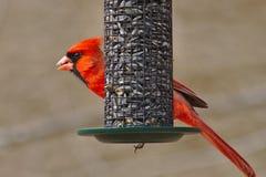 cardinal sur le conducteur Images libres de droits