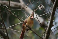 Cardinal sur un membre Images libres de droits