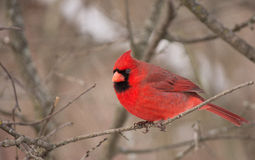 Cardinal. Taken in Grindstone Creek Hamilton Royalty Free Stock Photos
