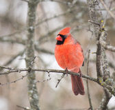 Cardinal. Taken in Grindstone Creek Hamilton Stock Photos