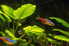 Cardinal Tetra in aquarium on the background of plants stock photography