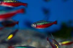 Cardinal tetra fish Royalty Free Stock Photo