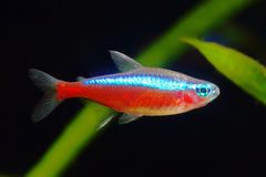 Cardinal tetra fish Stock Images