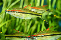 Cardinal tetra Royalty Free Stock Images