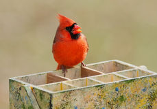 Cardinal On A Tool Box Royalty Free Stock Photos