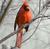 Cardinal in a Tree Stock Image