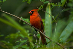 Cardinal in a tree Royalty Free Stock Photography