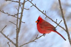 Cardinal on a tree branch. Bright red cardinal perched on a tree branch Stock Photo