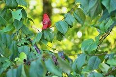 Cardinal on tree branch. Back of Cardinal on tree branch stock photos