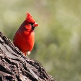 Cardinal on a Tree royalty free stock photos