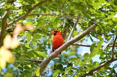 Cardinal in tree Royalty Free Stock Photography