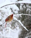 Cardinal turned Royalty Free Stock Image