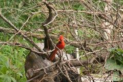 On cardinal um ramo imagens de stock royalty free