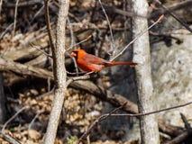 On cardinal una rama imagenes de archivo