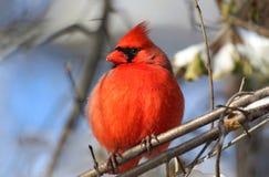 On cardinal une branche Photographie stock libre de droits