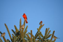 Cardinal in the Morning. Cardinal waiting for the right time to feed stock photo