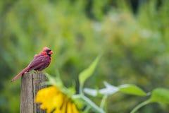 Cardinal watches over sunflower garden. Male Cardinal Cardinalis cardinalis molts feathers in late summer perched over a sunflower garden stock photo