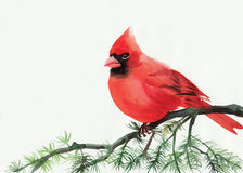 Cardinal. Watercolor painting of cardinal bird sitting on a branch Royalty Free Stock Images