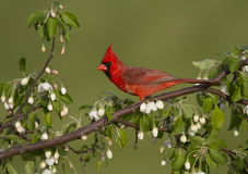 Cardinal in White Buds Royalty Free Stock Photography