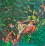 Cardinal in the Window Royalty Free Stock Photos