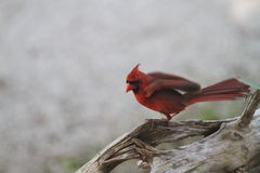 Cardinal with wings flapping. Beautiful red male cardinal resting on driftwood with wings flapping closeup royalty free stock photo