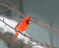 Cardinal in winter. This is a Northern Red Cardinal perched on a branch in winter Royalty Free Stock Images