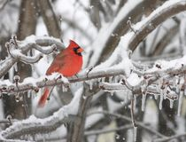 Cardinal in winter. A Northern red Cardinal during snowstorm in quebec, canada Royalty Free Stock Photography
