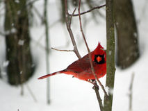 Cardinal on a Winter Branch Stock Image