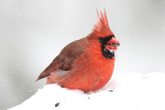 Cardinal in Winter. A bright red male Northern Cardinal (Cardinalis cardinalis) eating seeds in a winter snow storm Stock Image