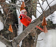 Cardinal with winter hat. Male cardinal with winter cap in tree Stock Photo