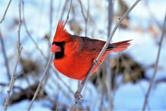 CARDINAL in winter. A nice winter day and a Cardinal with the snow in the background. the snow seams to magnify the color of the bird royalty free stock photos