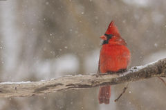 Cardinal in winter Stock Photography