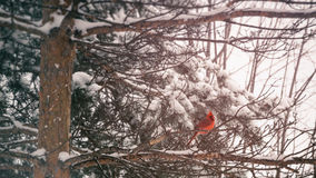 Cardinal Winter Pine. A cardinal bird perched in a pine tree covered in winter snow Stock Photos