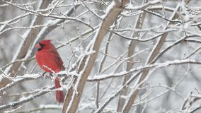Cardinal in winter snow stock video footage